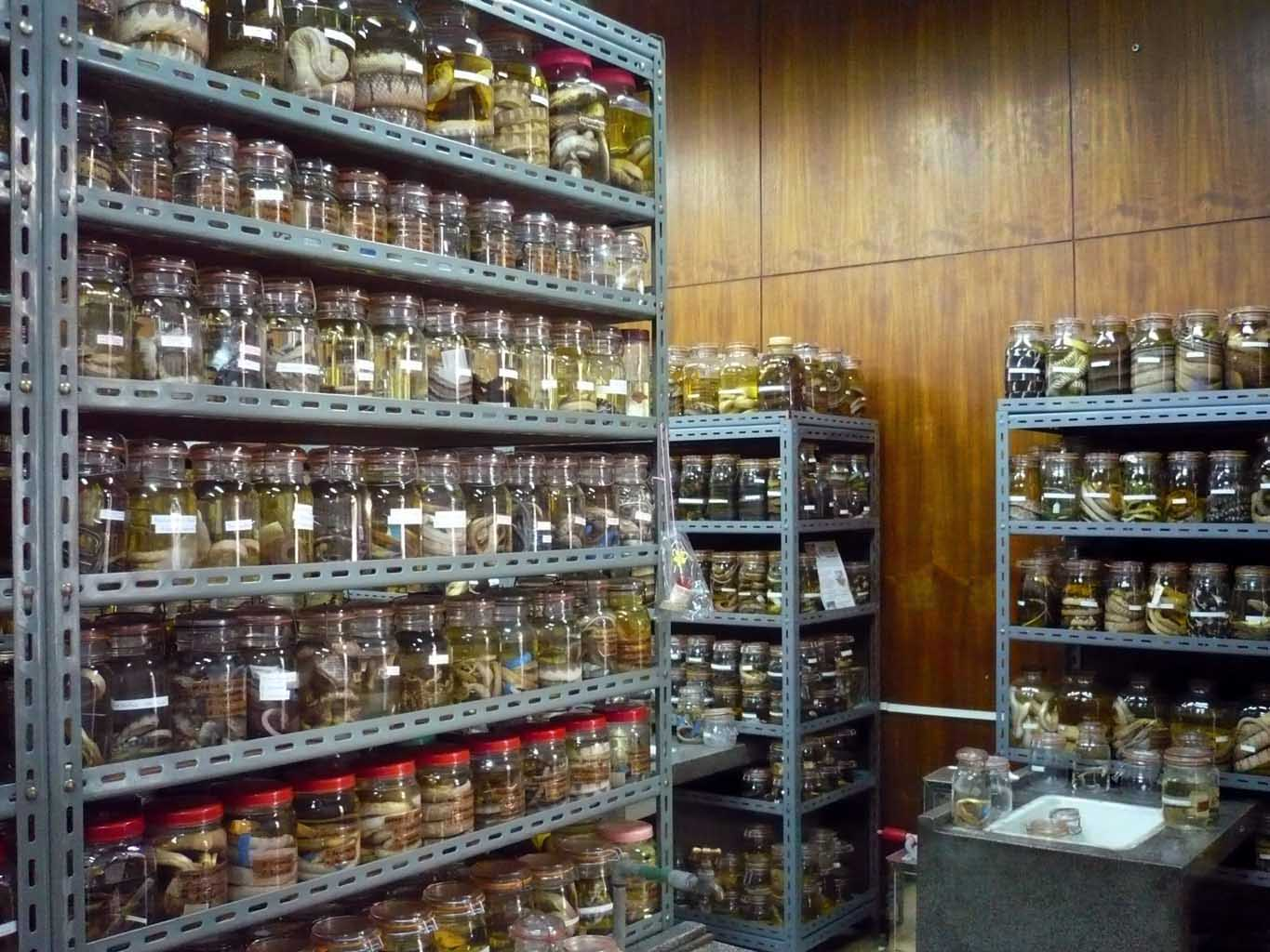 Chulalongkorn University herpetological collections, Bangkok; photo. by O.S.G. Pauwels