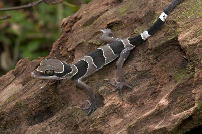 Cyrtodactylus australotitiwangsaensis, Fraser's Hill, Peninsular Malaysia; photo. by Lee Grismer