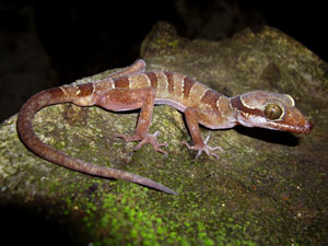 Cyrtodactylus bintangrendah, Lenggong Valley, Peninsular Malaysia; photo. by M. Muin