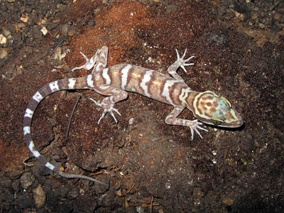 Cyrtodactylus thirakhupti, Khao Sonk Cave, Surat Thani province, southern Thailand; photo. by Montri Sumontha