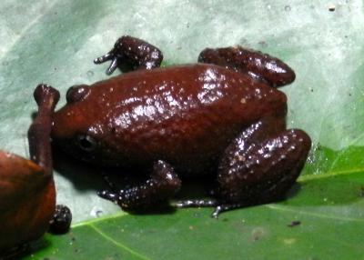 Leptodactylodon stevarti, Cristal Mounts, northern Gabon; photo. by Emily J. Neil