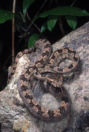 Triceratolepidophis sieversorum, Phong Nha Nature Reserve, Vietnam; photo. by Nikolai Orlov